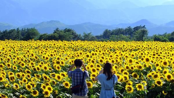 Hàng ngàn bông hoa hướng dương khoe sắc
